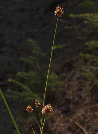 Presl's Sedge - Carex preslii