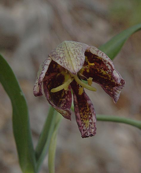 Chocolate-lily - Fritillaria affinis